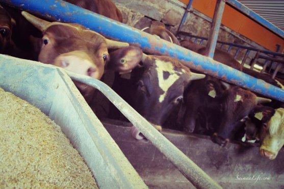 cowhouse-bulls-waiting-food