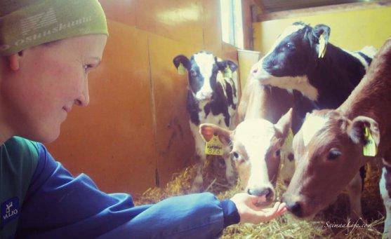 cowhouse-calves