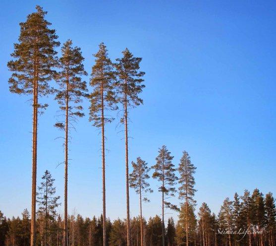 winter-blue-sky-trees
