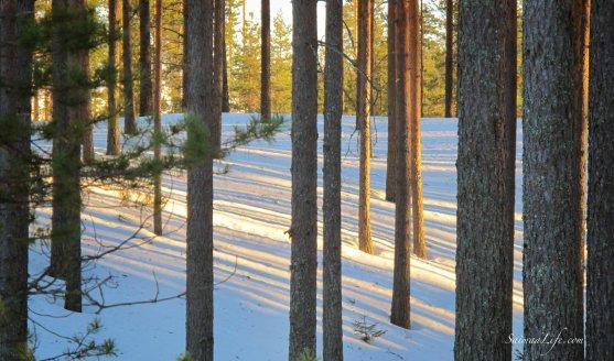 winter-finnish-forest