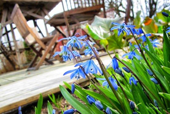spring-blue-flowers