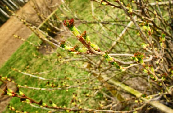 spring-buds-of-black-curran-bushes