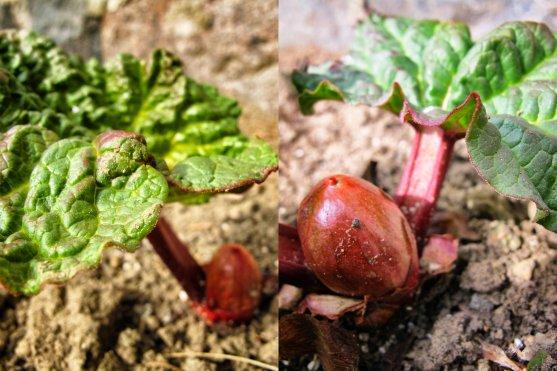 spring-rhubarb