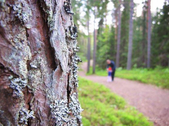 pine-tree-bark