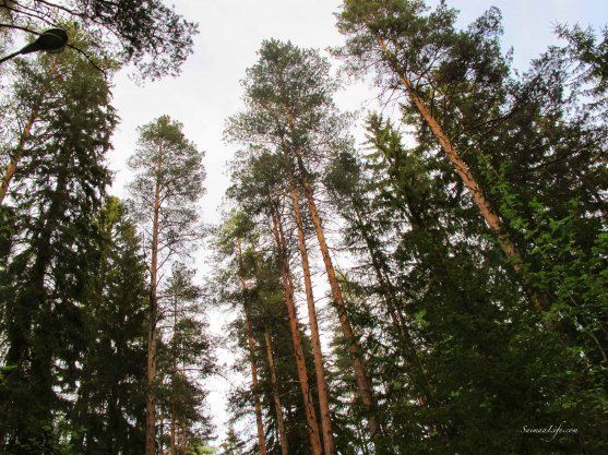tall-pine-trees