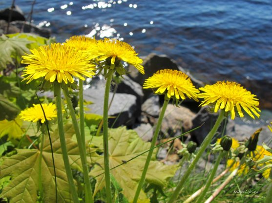 dandelion-by-lake