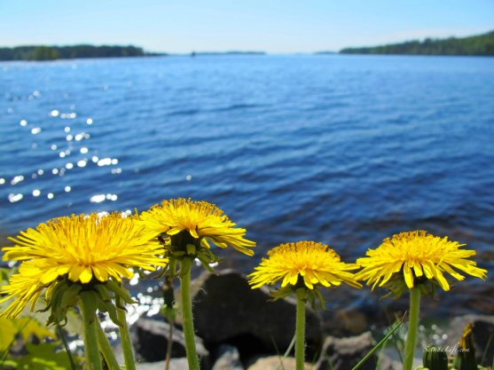 yellow-dandelion-and-sunny-day