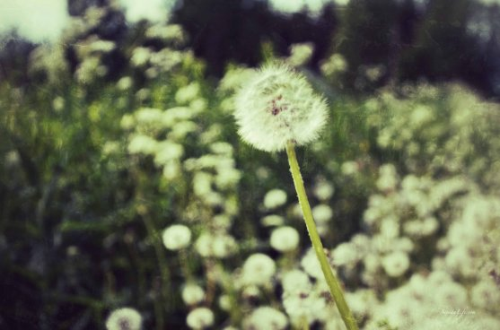 dandelions-2