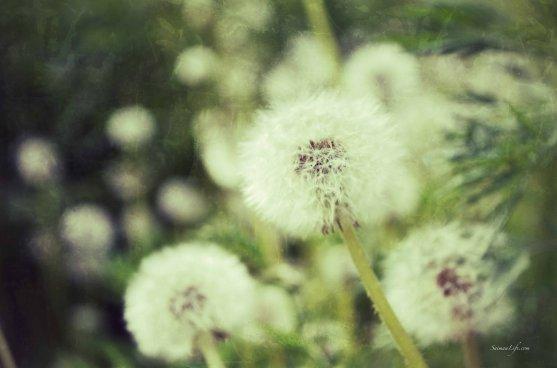 dandelions-3