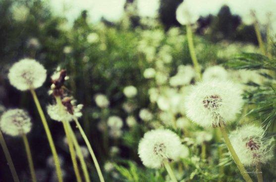 dandelions-4