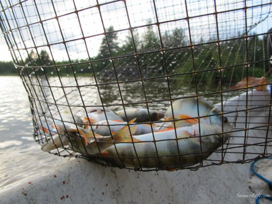 crayfishing-catching-baitfish-with-wire-fish-trap