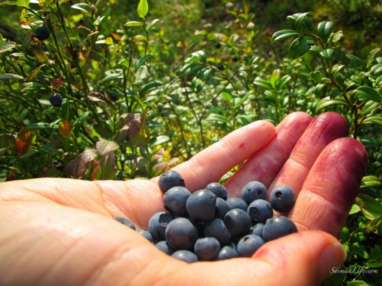 picking-up-blueberries-in-finland-3
