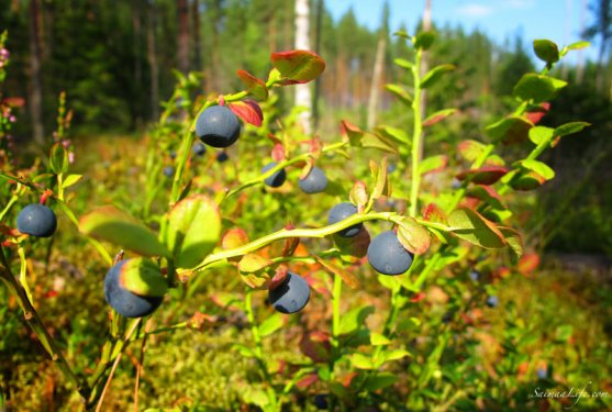 picking-up-blueberries-in-finland-7