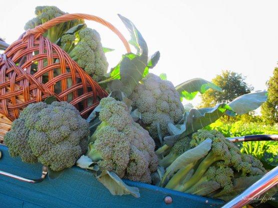 vegetable-garden-3