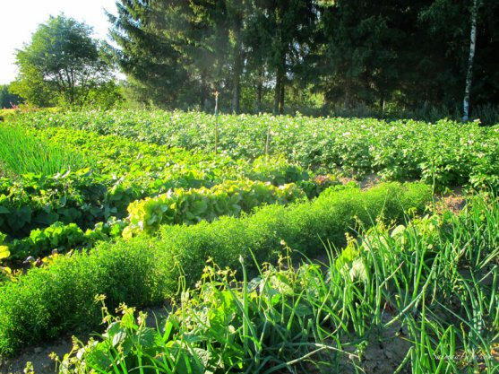 vegetable-garden-7