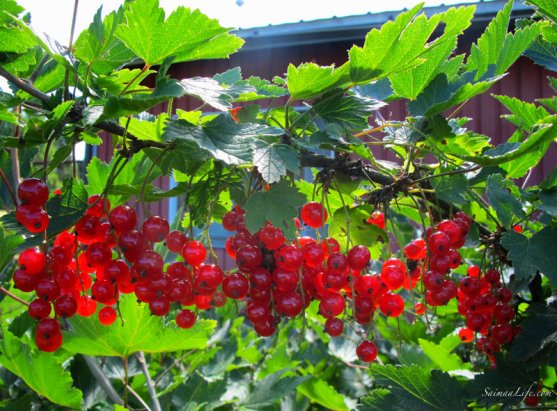 mother-picking-up-red-currants-with-children-3