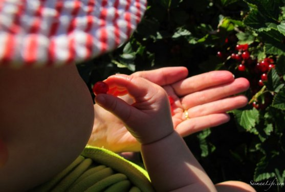 mother-picking-up-red-currants-with-children-6