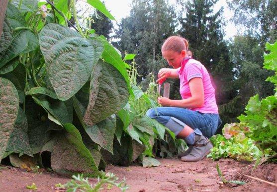 woman-cutting-beans-from-vegetable-garden-4