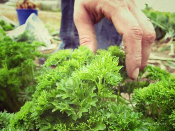 parsley-from-own-vegetable-garden-3