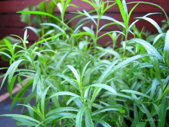 herbs-on-balcony-4
