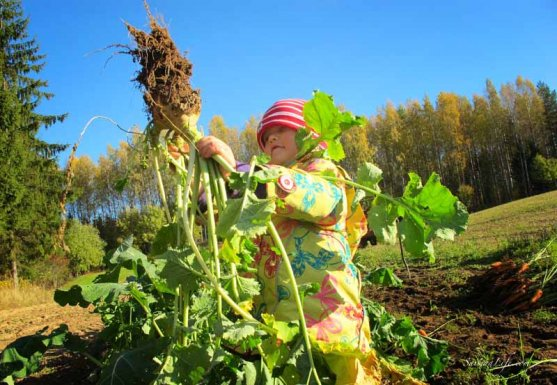 finnish-vegetable-garden-in-autumn-10