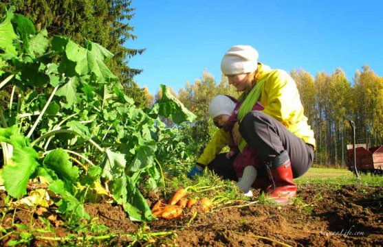 finnish-vegetable-garden-in-autumn-11