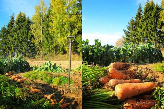 finnish-vegetable-garden-in-autumn-12