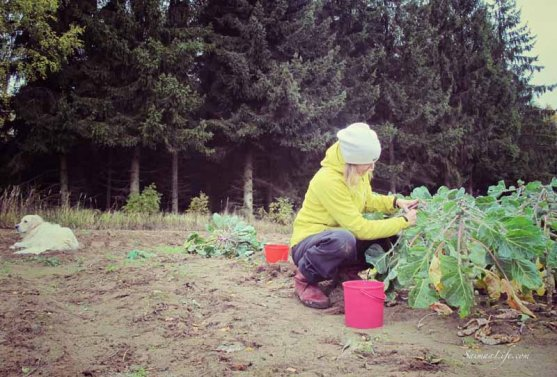 mother-picking-up-brussels-sprouts-from-vegetable-garden-3