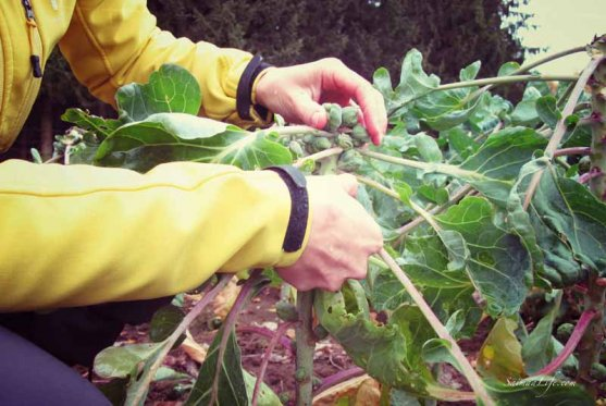 mother-picking-up-brussels-sprouts-from-vegetable-garden-4
