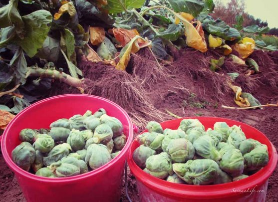 mother-picking-up-brussels-sprouts-from-vegetable-garden-6