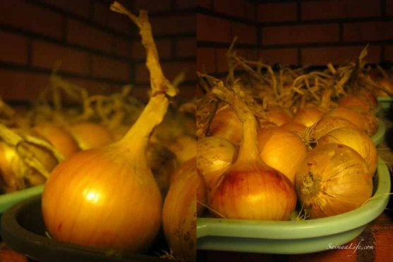 onions-from-own-vegetable-garden-2