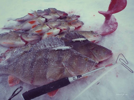 ice-fishing-perch