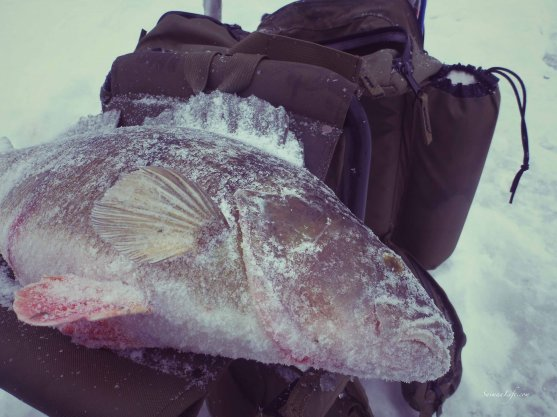 ice-fishing-size-perch