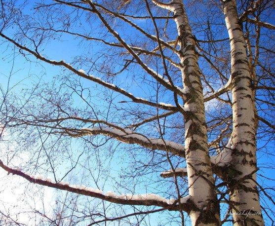 winter-birches