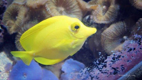 sealife-fish-yellow