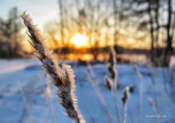 frozen grass sparkling in a winter sun