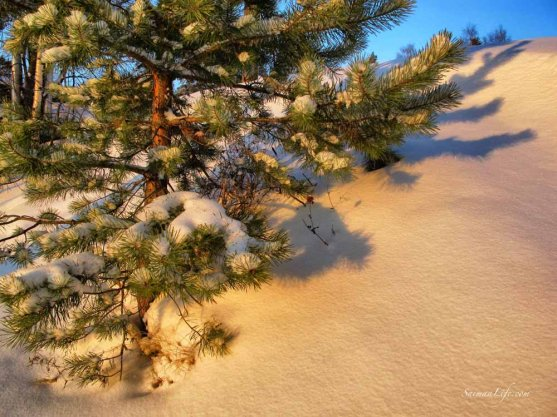 Pine tree rising from the snow