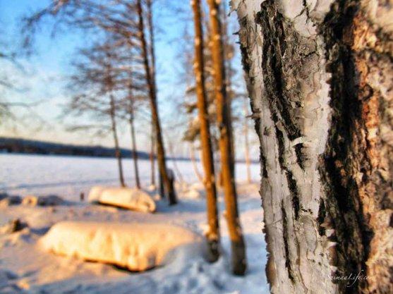 Sun shining on the pine tree bark