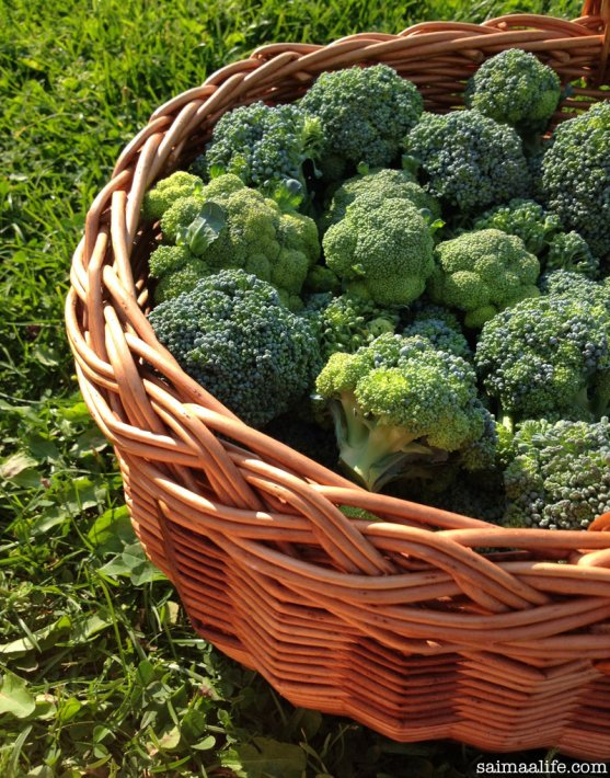 broccoli-from-own-vegetable-garden