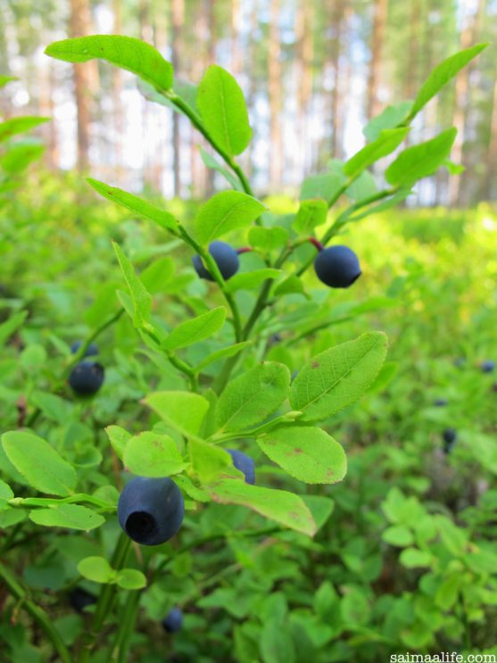 blueberries-wild-food