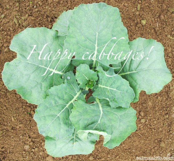happy-cabbages