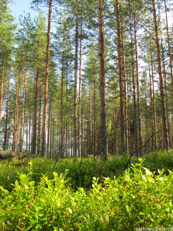 pine-forest-in-saimaa-lake-area-finland