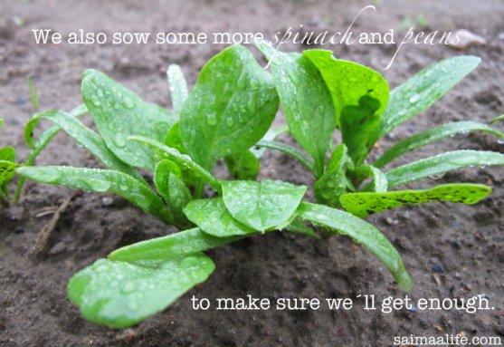spinach-on-vegetable-garden