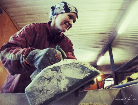 woman-working-in-cowhouse-in-finland-4