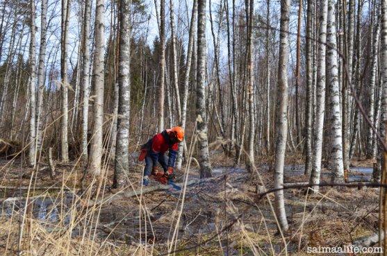 finnish-timberjack-cutting-birches
