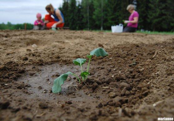 broccoli-seedling