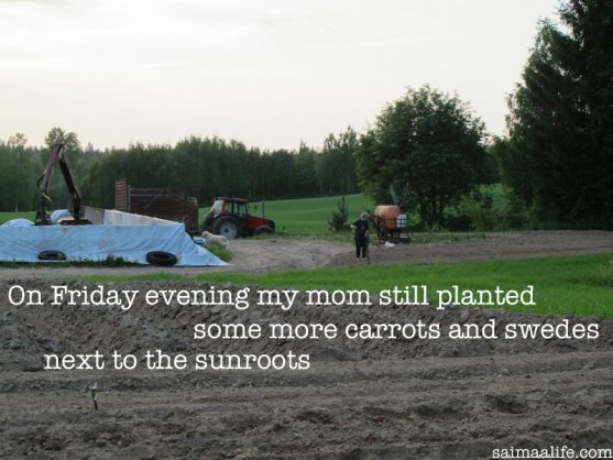 grandmother-planting-swedes-and-carrots