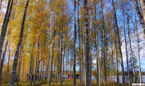 finnish-birch-forest
