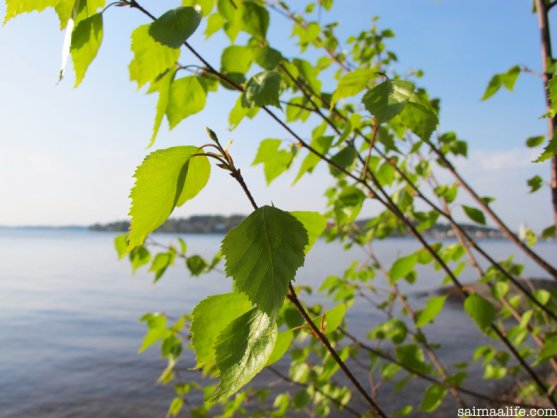 birch-leaves-in-finnish-lake-nature