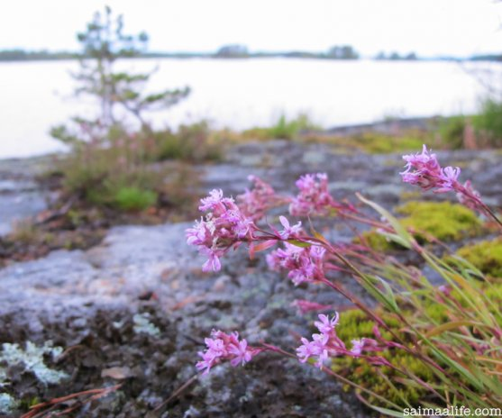 finnish-island-flowers